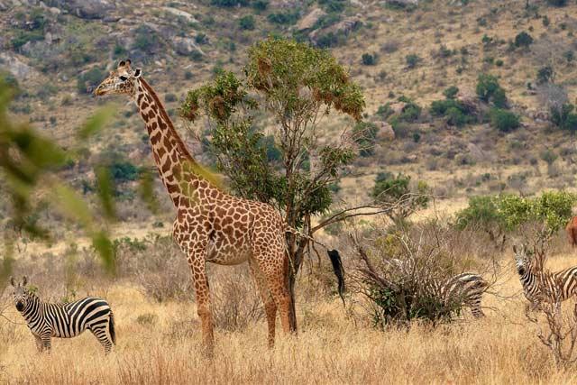 Africa Kenya Safari Animal